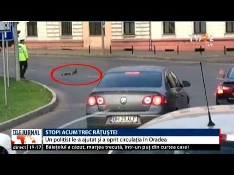 Un polițist din Oradea a oprit traficul pentru ca o raţă şi bobocii ei să poată traversa strada